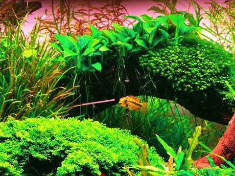 Popular fish for the planted aquarium algae eaters for Planted tank fish