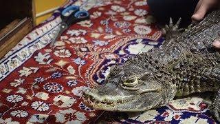 У меня дома живёт крокодил