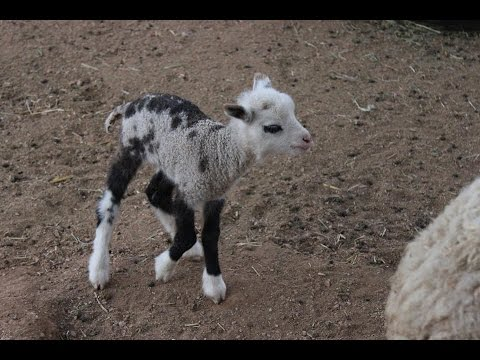 "Baby Geep named ""Butterfly"": The goat crossed with sheep captures hearts around the world"
