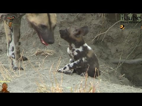 African Wild Dogs And Puppies At Their Den