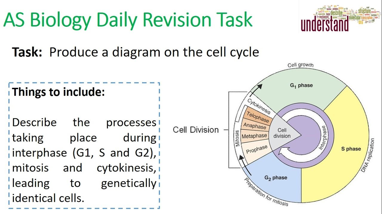 As biology daily revision task 49 the cell cycle youtube as biology daily revision task 49 the cell cycle ccuart Image collections