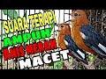 Suara Terapi Anis Merah Macet Bunyi  Mp3 - Mp4 Download