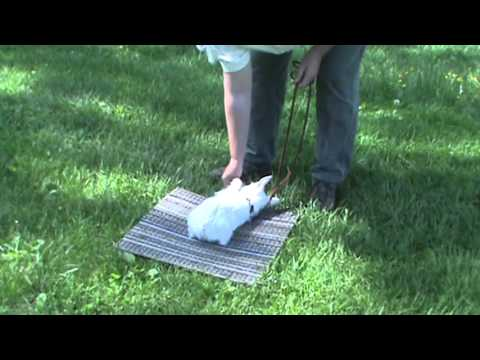 Maryland Dog Training 10 week old West Highland White Terrier puppy