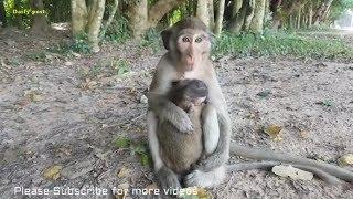 Casi monkey gives baby Tommy breastfeeding, sleeping monkey sucking milk very cute, lovely animals
