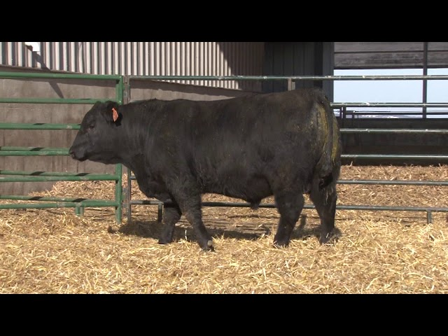 Schiefelbein Angus Farms Lot 31