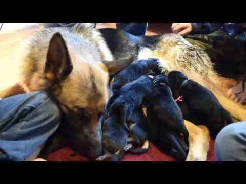 Tiltonhaus German Shepherd Puppies For Sale