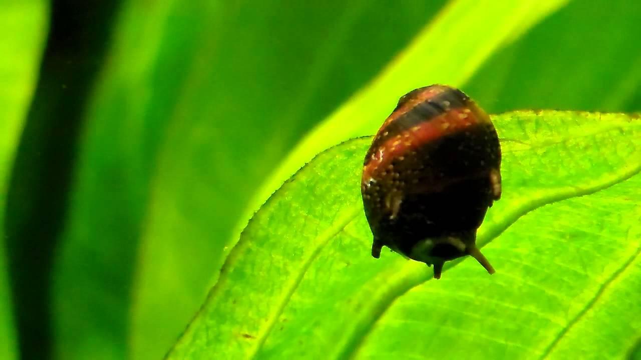 Horned Nerite Snail - YouTube