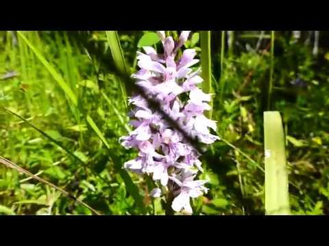 Карелия Цветы островов Ладоги Орхидеи острова Путсаари