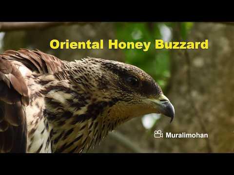 ORIENTAL HONEY BUZZARD Attacks Bee Hive