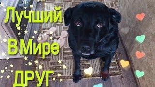 Наша собака / СКУЧАЕТ ПО ХОЗЯИНУ / Лабрадор /Батыр