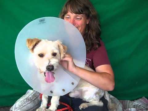 A477066 Softie   Terrier Mix
