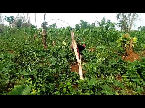 Green pepper production more profitable business venture than cocoa farming-Says Mr Kojo Ntim