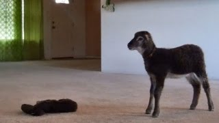 Little lamb gets lost in the living room