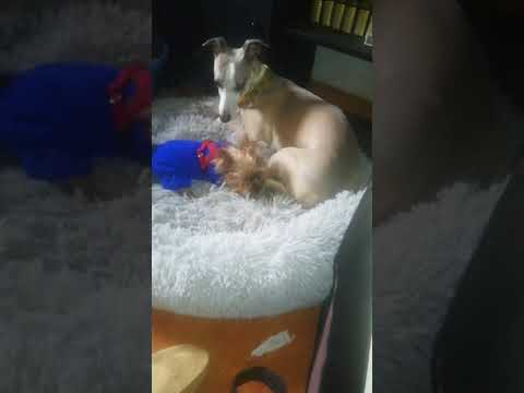Whippet and yorkshire(3)