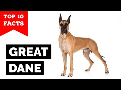 Great Dane  Top 10 Facts