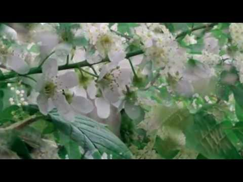 Страна читающая - В. Ю. Галецкая читает произведение С. Есенина  Черемуха душистая...