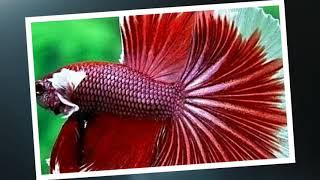 Фото рыбки петушка.