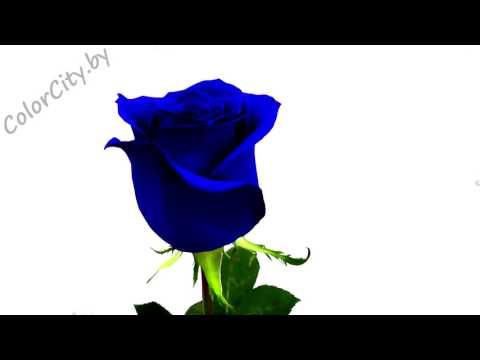Синие розы Синяя роза