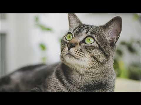 Порода кошек, обладающая отменным здоровьем и хорошим иммунитетом. Бразильская короткошерстная кошка
