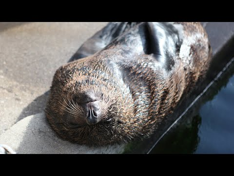 See Snoring Seal Take a Nap After A Long Day of Swimming