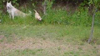 Husky siberiano (Ruso) y Labrador (Juana) un rato en el patio