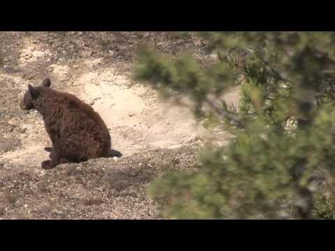 Yellowstone Bears - 2012