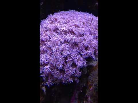 Purple Goniopora Feeding
