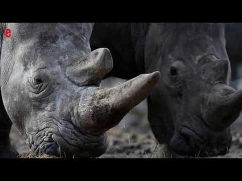 Rhinocéros tué dans un zoo, une première en Europe