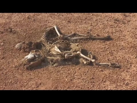 Aid agencies race to save livestock as drought grips Somalia