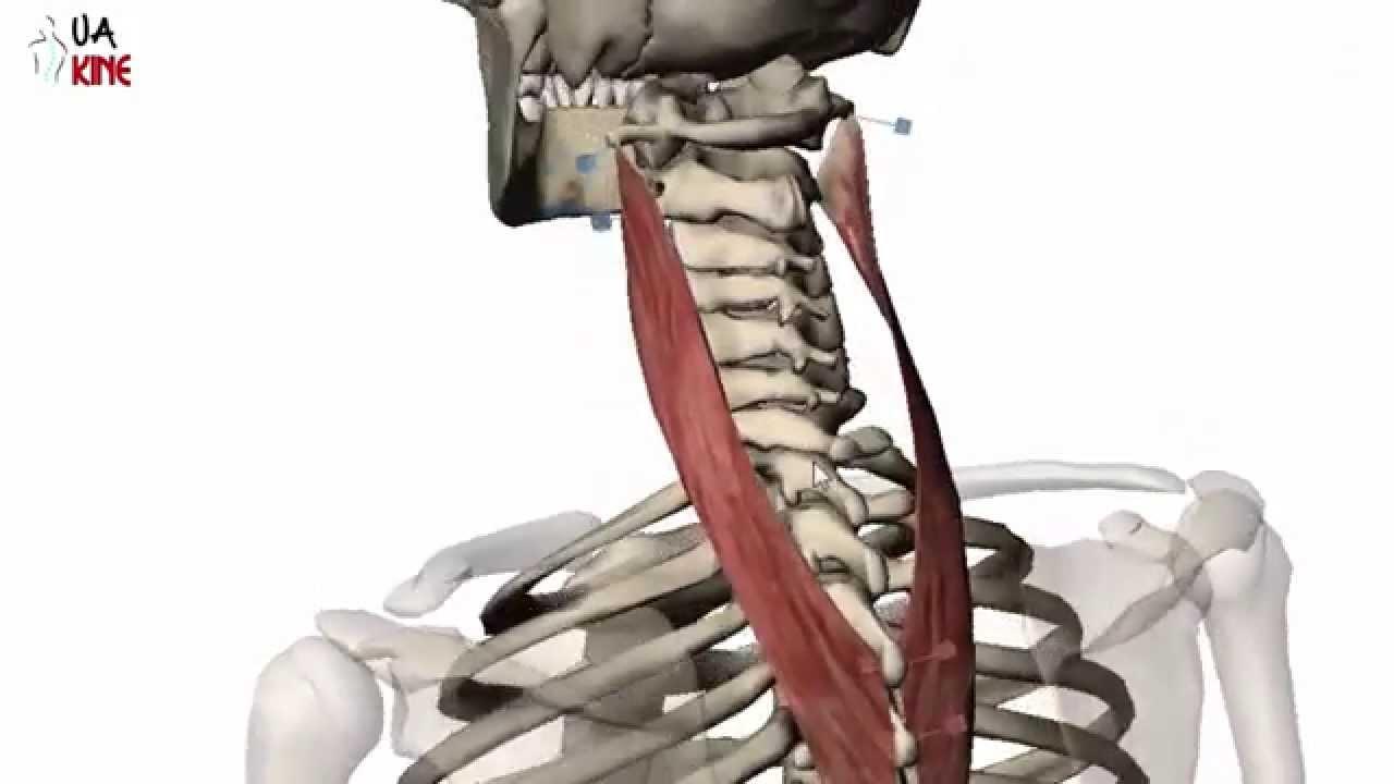 Anatomía Esplenio del Cuello (Características) - YouTube