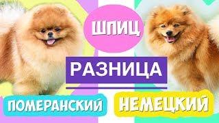 Шпиц Померанский и Немецкий | РАЗНИЦА