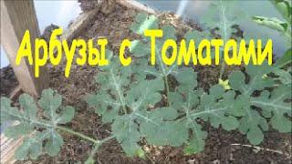 Ранние Арбузы в Теплице с Помидорами: Посадка(В этом видео я делюсь своим опытом посадки ранних арбузов в теплицу, где также будут расти и томаты. Запись..., 2015-05-25T04:12:18.000Z)
