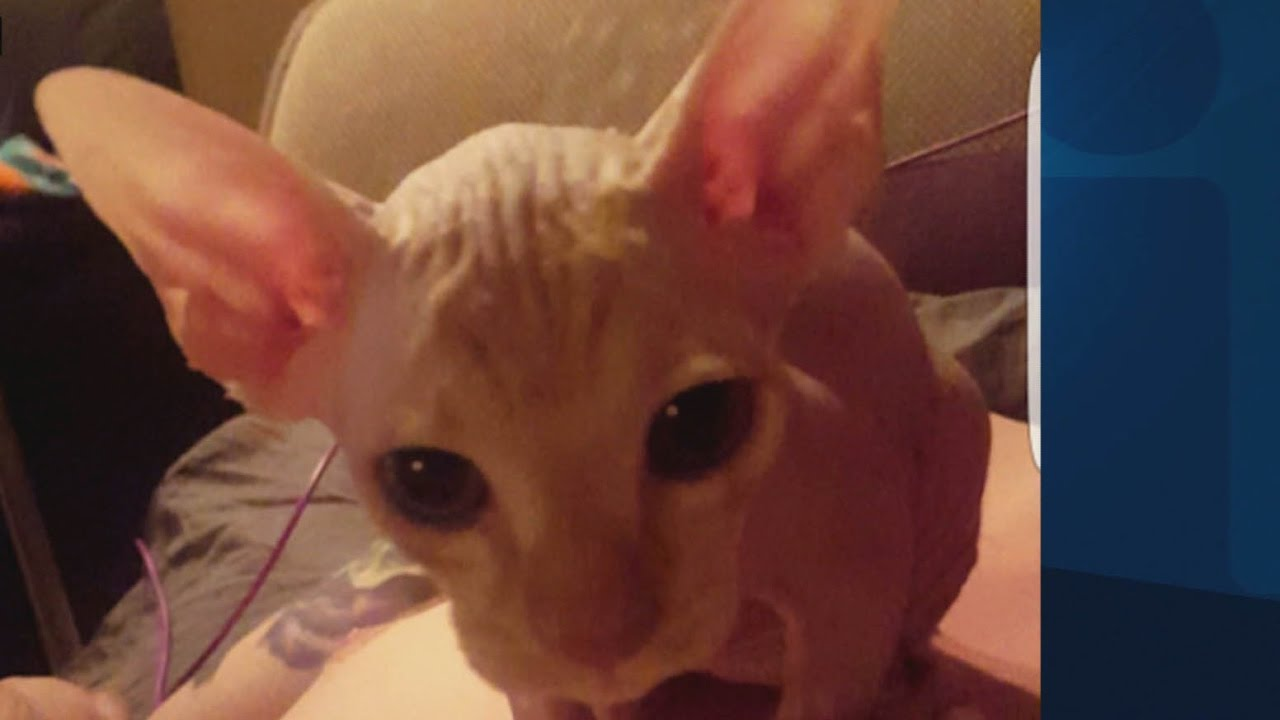 Someone Is Meticulously Shaving Kittens and Selling Them as Hairless