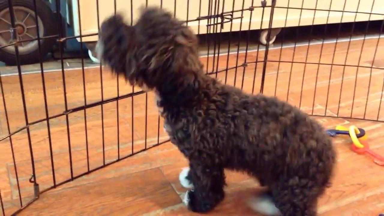 Citipups Poodle