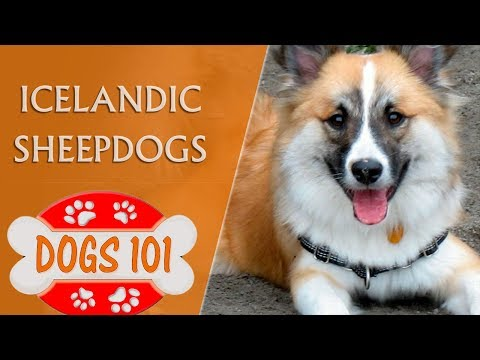 Dogs 101 - ICELANDIC SHEEPDOG - Top Dog Facts About the Icelandic Sheepdogs