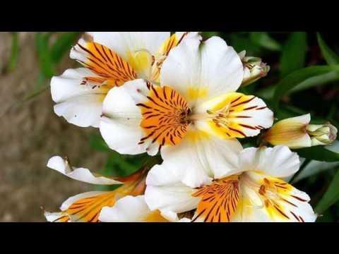 Alstroemeria flower (HD1080p)