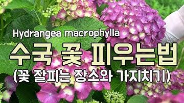 [수국 키우기] 꽃 잘 피우는 방법과 꽃대 자르는 요령! How to get blooms from hydrangea flowers, アジサイの育て方