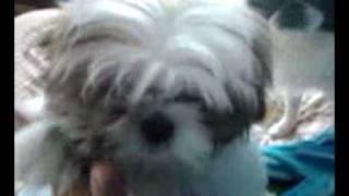 Japanese Chin And Shih Tzu Puppy High Five