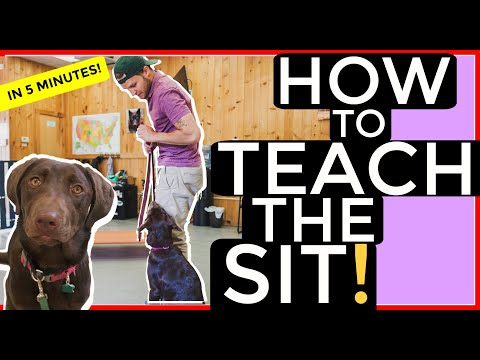 Teach any Dog the Sit Command in Five Minutes with Americas Canine Educator