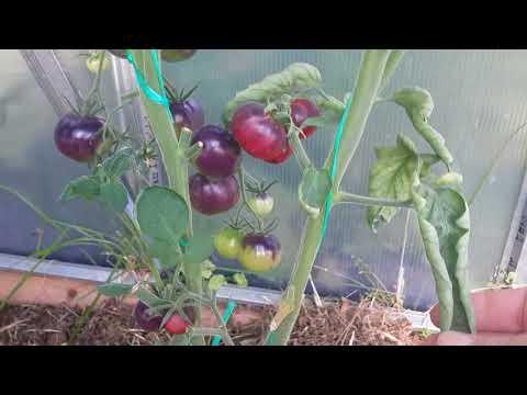 Обзор сортов томатов//аметистовая драгоценность и коричневая мякоть//13 июля.