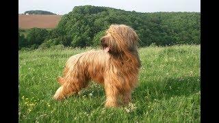 Порода собак Бриар - Описание