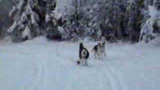 Siberian Husky Icycle And Alaska Husky Mix Kodiak Running 1