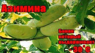 видео Банан - это трава или дерево? Польза бананов. Как выбрать банан.