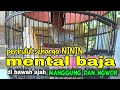 Perkutut Seharga Ninin Gacor Full Di Bawah Pun Bisa Manggung Ngwor  Mp3 - Mp4 Download