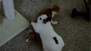 Male Rabbit chasing Male Cat