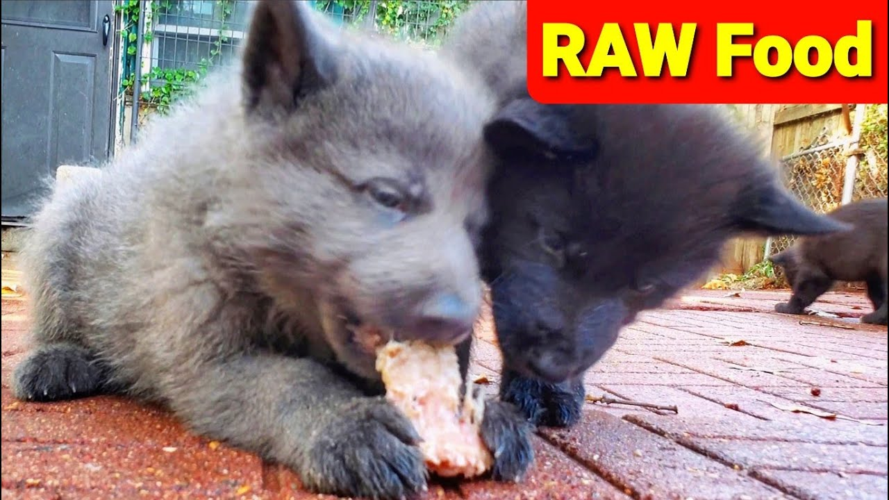 Cute Colorful Healthy Puppies Eating RAW Food - 40 Days Old