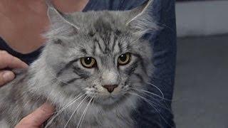 Хорошего кота много не бывает Международная выставка котов