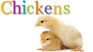CHICKENS | Animal Book for Kids Read Aloud