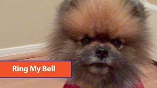 Pomeranian Rings Bell