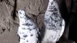 Николаевские голуби 14.01.2015г / Nikolaev doves
